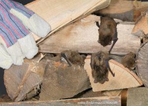 Fledermäuse ziehen sich im Winter in Ihr Versteck zurück.
