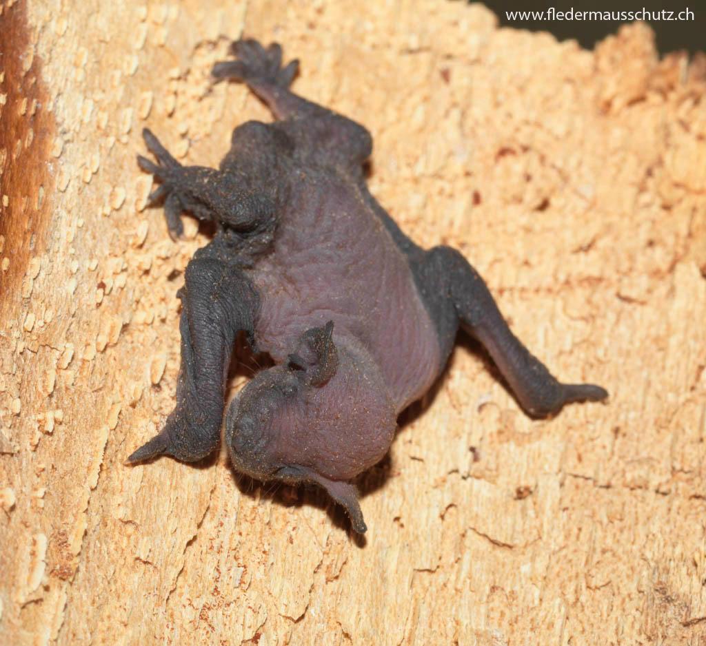 Eine junge Fledermaus hat sehr wenig Fell.